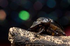 Besouros de estrume Imagem de Stock
