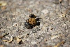 Besouros de estrume fotos de stock