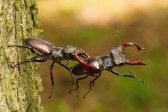 Besouros de veado, cervus de Lucanus fotos de stock royalty free