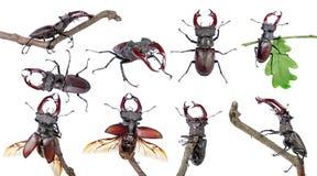 besouros de veado coleção dos besouros de veado isolados no branco Fotos de Stock Royalty Free