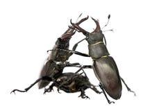 Besouros de veado europeus de encontro ao fundo branco foto de stock