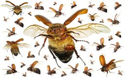 Besouros de voo do escaravelho imagens de stock royalty free