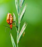 Besouros do soldado que acoplam-se em uma haste da grama Foto de Stock Royalty Free