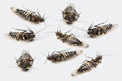 Besouros inoperantes Fotos de Stock