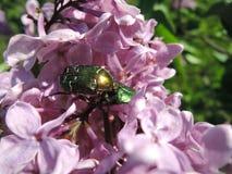 Besouros, insetos no lilás Imagens de Stock