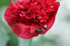Besouros japoneses Imagens de Stock Royalty Free