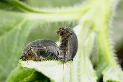 Besouros pretos Fotos de Stock Royalty Free