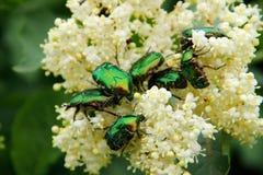 Besouros verdes Foto de Stock