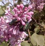 Besouros verdes Imagens de Stock Royalty Free