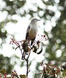 Bespottende Vogel Royalty-vrije Stock Afbeeldingen