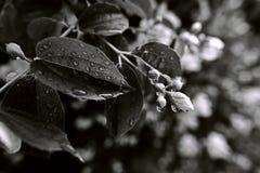 Besprühte Blätter und Blumenknospen stockfotos