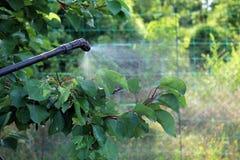 Bespruta aprikosträdet med den trädgårds- handsprejaren closeup royaltyfri bild
