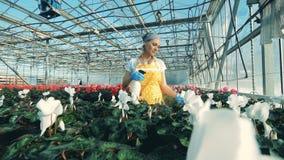 Bespruta av att blomstra blommor som ut bärs av kvinnlig anställd arkivfilmer