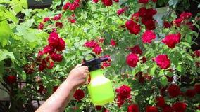 Bespruta rosa blommor med vatten från en sprejare stock video