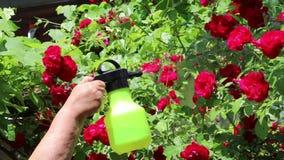 Bespruta rosa blommor med vatten från en sprejare arkivfilmer