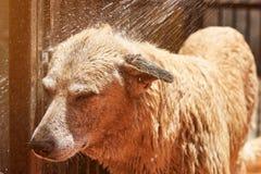 Bespruta vatten på hund från slangen Arkivfoto