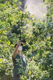 Bespuitend pesticide op fruitbomen Stock Foto's