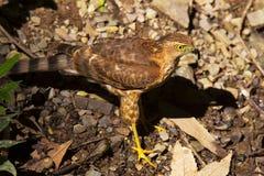 Besra, Accipiter virgatus, Saat Tal, Uttarakhand Lizenzfreies Stockfoto
