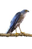 Besra or Little Sparrow Hawks Royalty Free Stock Photography