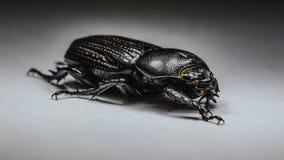 bess жука Стоковые Фотографии RF