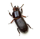 Bess Beetle Stock Photos