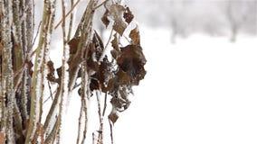 Bessen in de Sneeuw stock footage