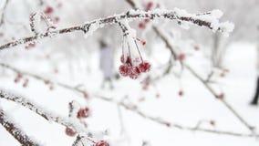 Bessen in de Sneeuw stock video