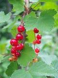 Bessen en bladeren van rode aalbes Stock Afbeeldingen
