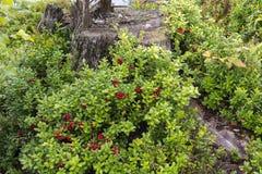 Bessen en bloemen in Noorwegen Stock Foto's