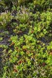 Bessen en bloemen in Noorwegen Stock Afbeelding