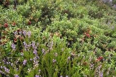 Bessen en bloemen in Noorwegen Royalty-vrije Stock Fotografie