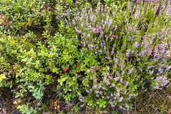 Bessen en bloemen in Noorwegen Royalty-vrije Stock Foto