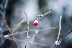 Bessen met sneeuw het hangen van een tak worden bedekt die Royalty-vrije Stock Foto's