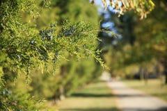 Bessen op boom met weg Royalty-vrije Stock Fotografie