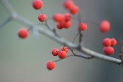 Bessen van de de winter de rode Haagdoorn op naakte tak Royalty-vrije Stock Afbeeldingen