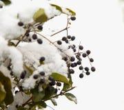Bessen van een Haag met sneeuw Stock Foto's