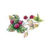 Bessen van frambozen en kruisbessen in een boeket Geïsoleerdj op witte achtergrond Royalty-vrije Stock Afbeelding