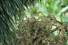 Bessen van het palm de groene zaad royalty-vrije stock afbeelding