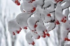 Bessen van rode die lijsterbes op takken met sneeuw worden behandeld Stock Fotografie