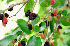 Bessenmoerbeiboom zwart, rood en groen op de takken van bomen Stock Afbeeldingen
