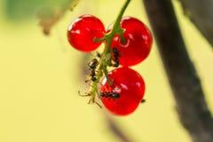 Besstruik met rode rijpe bessen met mieren in de zonnige de zomertuin, in het achterlicht, close-up Selectieve nadruk royalty-vrije stock afbeelding