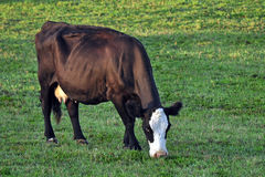 Bessy The Milk Cow. A young Holstein in a green pasture royalty free stock images
