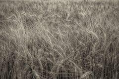 Bestämt av vete i ett fält Guld- färg arkivbild