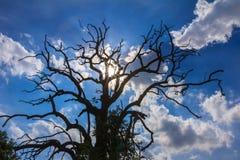 Beständiger Todesbaum mit bulesky Hintergrund Lizenzfreies Stockfoto