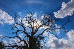 Beständiger Todesbaum mit bulesky Hintergrund Lizenzfreie Stockfotografie
