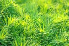 Beständiges Gras der Gartendekoration im Sonnenlicht Lizenzfreie Stockbilder