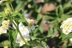 Bestäubung der Blume Stockfotos