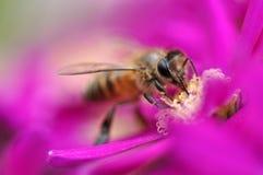 Bestäubung durch Bee Stockbild