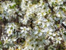 Bestäubung durch Bienen der Blumen des Schlehdorns Stockfoto