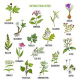 Best antibacterial herbs. Hand drawn vector set of medicinal plants Stock Photography